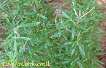 גידול צמחי תבלין - רוזמרין