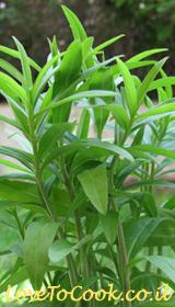 גידול צמחי תבלין - טרגון