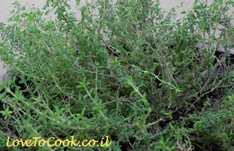 גידול צמחי תבלין - קורנית