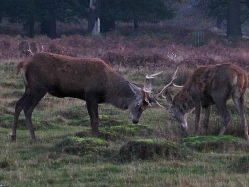 Close-up pic of two deer playing at Richmond Park, London - © L. Silberstein