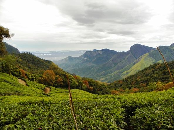 Южная Индия. Муннар. Чайные плантации