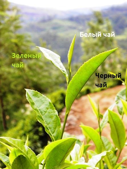 Схема сортировки чая