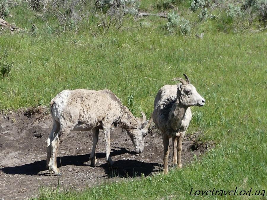 animals-in-yellowstone-2