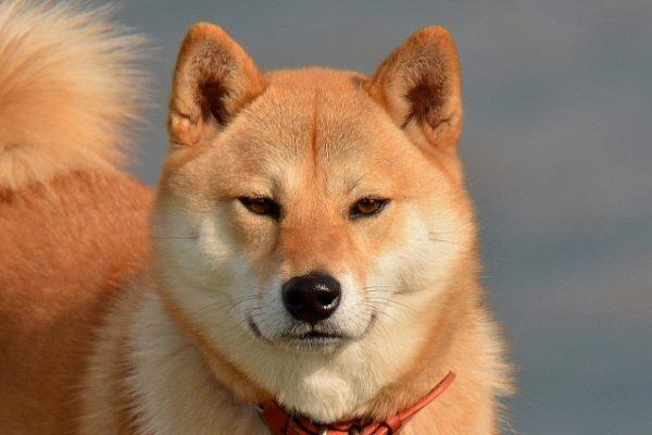 柴犬 注意点 室内飼い メリット