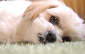 膵炎 震え 犬 再発