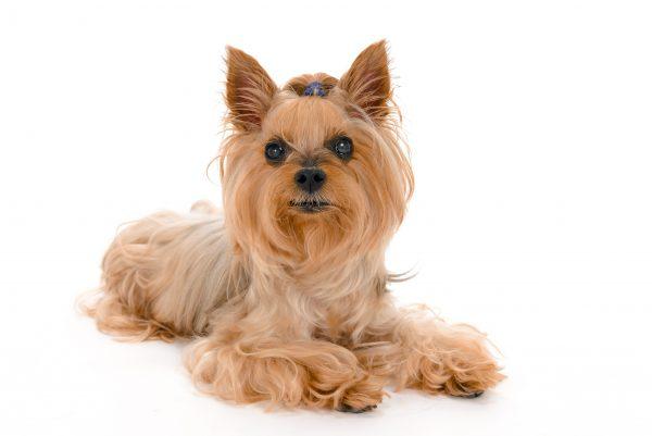 テリア 保険 病気 犬
