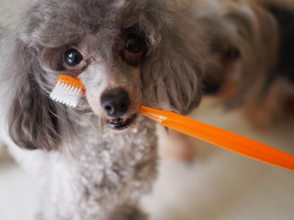 犬 歯周病 抜歯 食欲