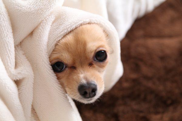 涙やけ 犬 除去 ホウサン水