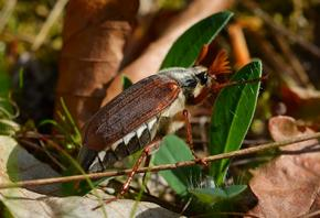 Майский жук для ловли голавля