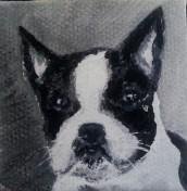 Boston Terrier pet portrait, S. Macera, Lovingcolor.net