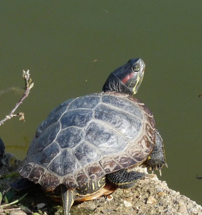 Turtle: red-eared terrapin at Clissold Park pond Stoke Newington © david.altheer@gmail.com