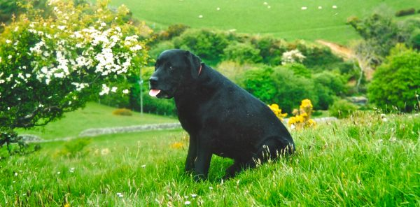 Labrador Jack at Llwyngwril, Gwynedd, Snowdonia (photographed on film by Nikon FÌ 35mm SLR) © davidaltheer@gmail.com