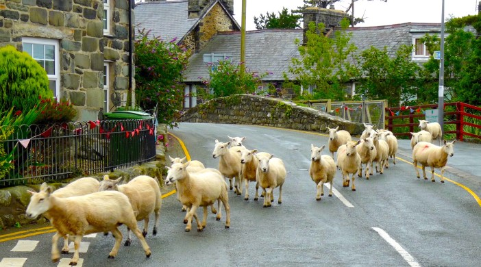 Traffic jam in Llwyngwril, a Welsh hillside village, July 2015: © david.altheer@gmail.com