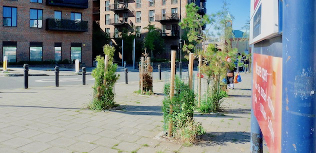 trees©DA21: david.altheer@gmail.com council planting of Scots/Caledonian (?) pine trees in Martel Place, Dalston, Hackney E8. Some dying 240921