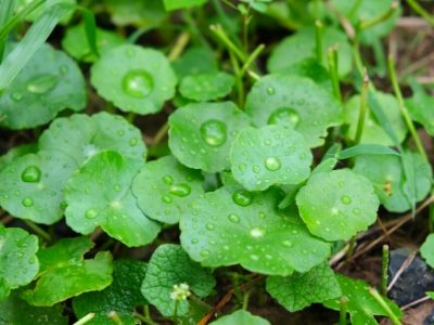 Herbs for natural hair growth-Gotu Kola