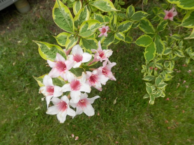 Flowering Shrub