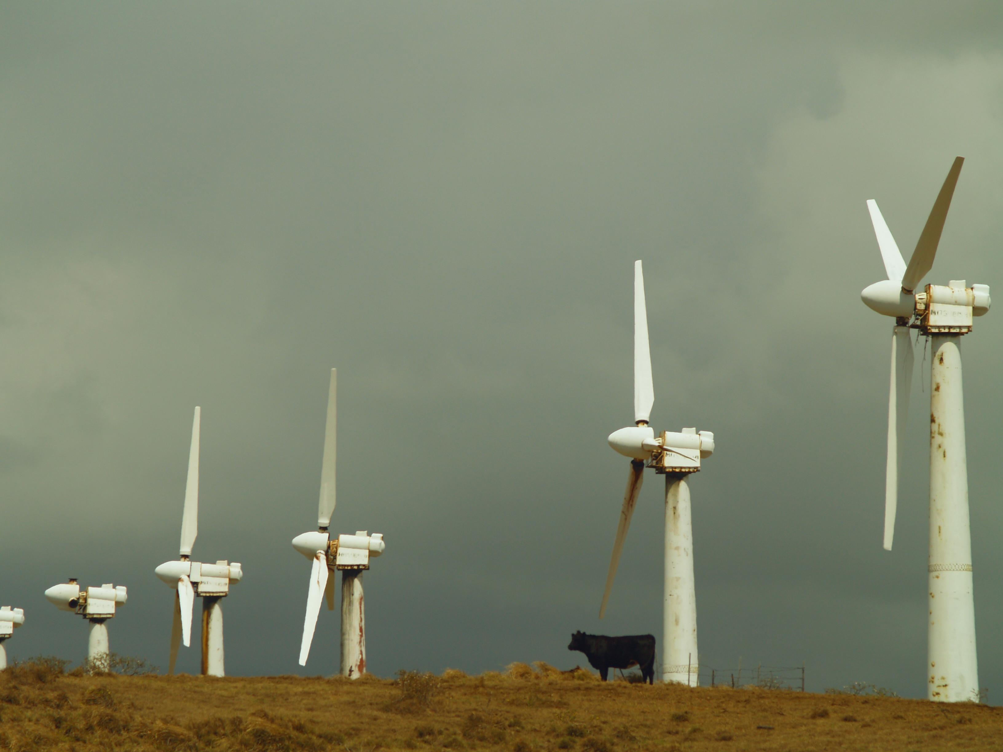 Cow and Windfarm: South Point--Ka Lae--Ka'u Hawaii: Photo by Donnie MacGowan
