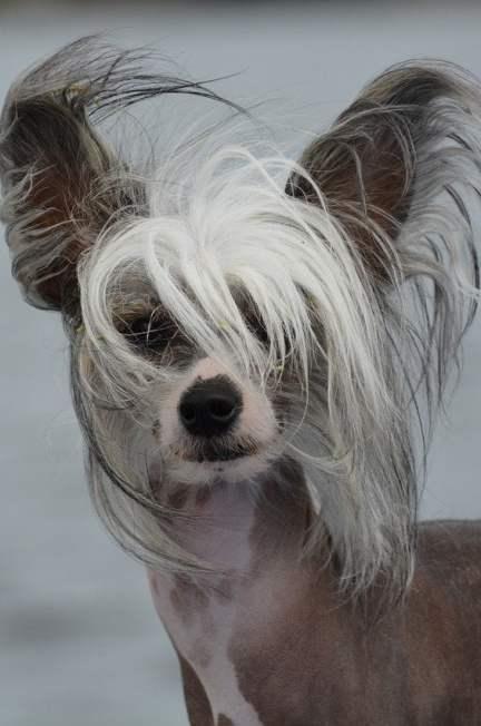 Naakthonden, hondenrassen die niet verharen