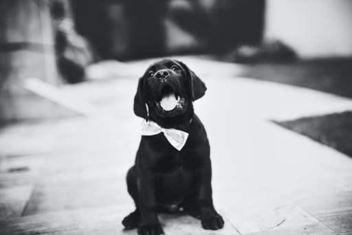 Honden commando's