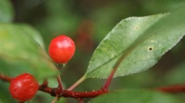 wild mountain berries