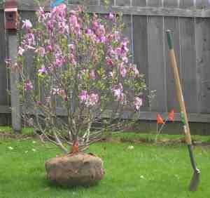 Charleston Landscaper Tulip Tree