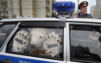 Polar bear busted