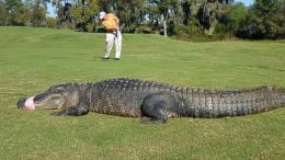 gator on a golf course
