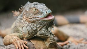 """Court Rejects Alleged Iguana-Killer's """"Stand Your Ground"""" Defense"""