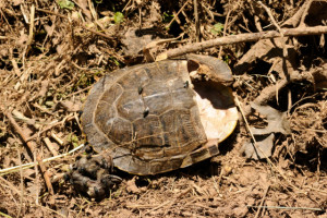death of a wood turtle