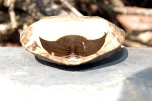 paintedturtleshell