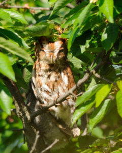 Mish - Eyes closed owl