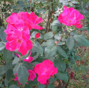 Sapia - 6.26.16 roses