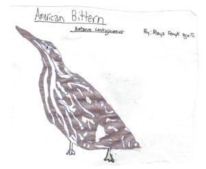 M. Fenyk - American Bittern drawing