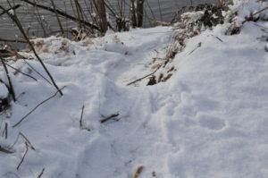 Mish - Beaver footprints in snow, Jan 2017