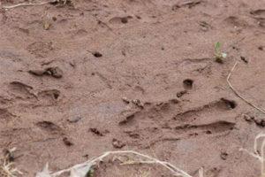 Mish - Beaver tracks in mud, Jan 2017