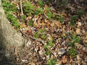 Sapia - Ground pine at Szeliga's Orchard