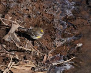 mish - juvenile myrtle warbler