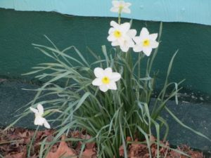 4.19.17 - Sapia - daffodils