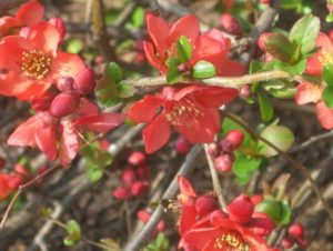 4.19.17 - Sapia - flowering quince 2012