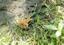 4.20.17 - mish - carpenter frog, alias wood frog