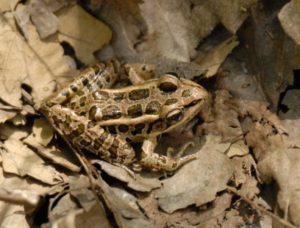 4.20.17 - mish - pickerel frog