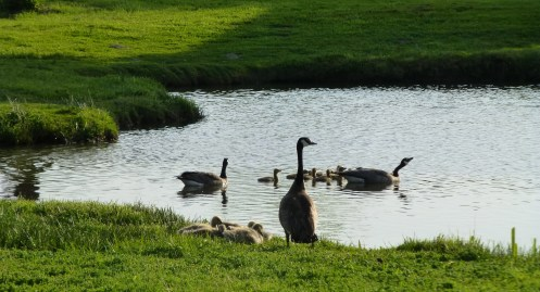 Geese colony