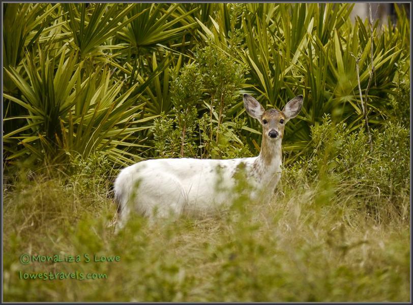 Piebald Deer or White Deer