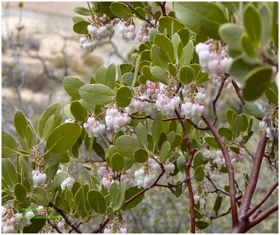 Manzanita in bloom