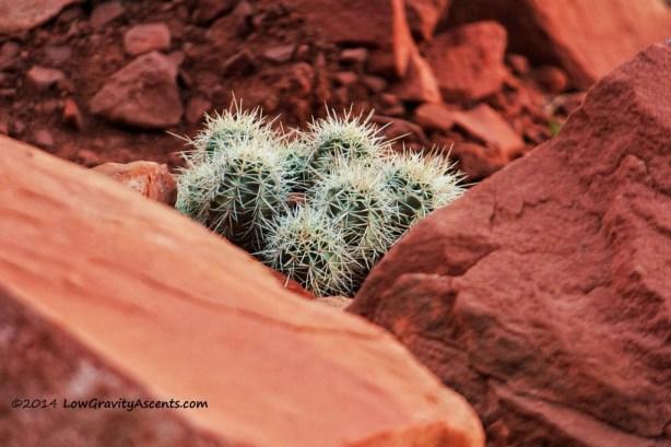 Indian Creek Cactus