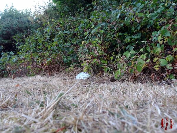 A discarded mask next to bushes in Horsham Park during the Covid 19 pandemic.