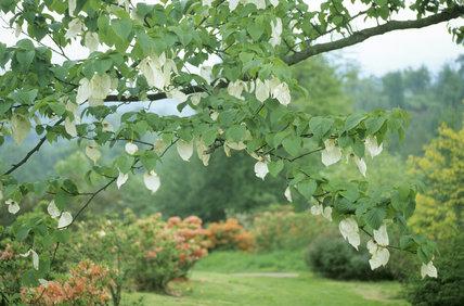 View Of Davidia Involucrata Vilmoriniana Dove Tree Or