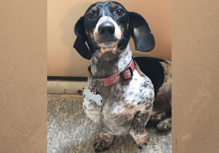 adoptable dachshund brodie