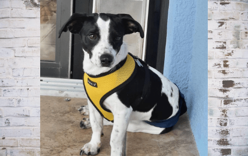 Meet Adoptable Dog Jax