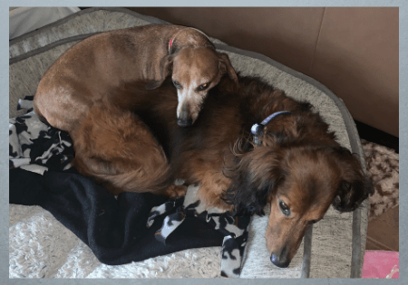 Oscar and Oliver Adoptable Dachshunds